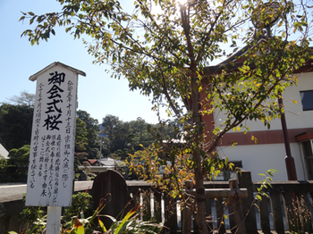 大坊本行寺の御会式桜